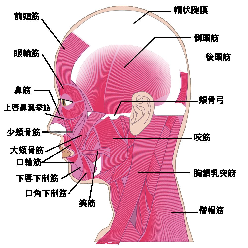 顎関節周囲の筋